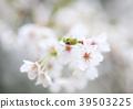 벚꽃, 꽃, 플라워 39503225