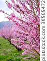 복숭아 꽃, 꽃, 플라워 39505472
