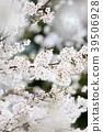 비가 갠 뒤의 벚꽃 39506928
