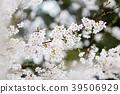 벚꽃, 봄, 꽃 39506929