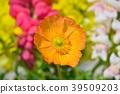 poppy, bloom, blossom 39509203
