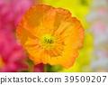 꽃 양귀비 39509207