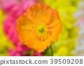 poppy, bloom, blossom 39509208
