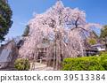 慈雲寺의 이토자쿠라 39513384