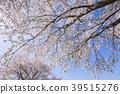 벚꽃 왕 벚꽃 나무 39515276