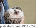 刺猬 動物 小動物 39515754