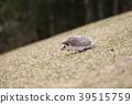 刺猬 動物 小動物 39515759
