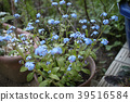 Forget-me-not blooming in the garden 39516584