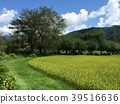 paddy field, rice field, landscape 39516636