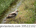 Squirrel eagles who flew to the rice fields 39522102