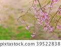 히토메센본자쿠라, 봄, 벚꽃 39522838