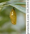 pupa chrysalis rice 39526943