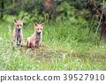 Foxes in the forest in the wild  39527910