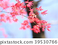 뜰단풍, 잎, 이파리 39530766