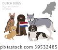 dog, Dutch, breed 39532465
