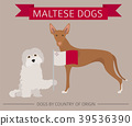Dogs by country of origin. Maltese dog breeds 39536390