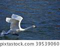 Runaway white swan 39539060