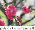 peach, bloom, blossom 39543538