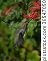 蜂鳥 小鳥 盤旋 39547050