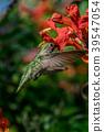 蜂鳥 小鳥 盤旋 39547054