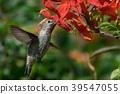 蜂鳥 小鳥 盤旋 39547055