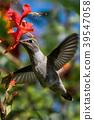 蜂鳥 小鳥 盤旋 39547058