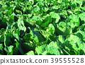 cabbage, cabbages, oleracea 39555528