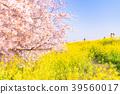 일본의 봄 쿠마 가이 사쿠라 즈 츠미의 벚꽃 나무와 유채 꽃 39560017