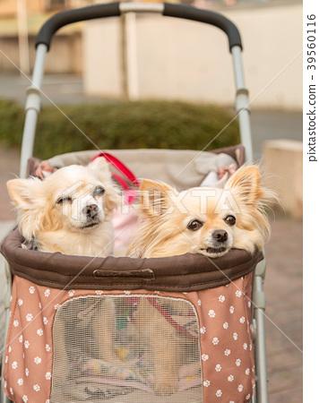 Chihuahua riding a dog cart - Stock Photo [39560116] - PIXTA