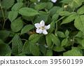 草莓 花朵 花 39560199