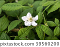 草莓 花朵 花 39560200