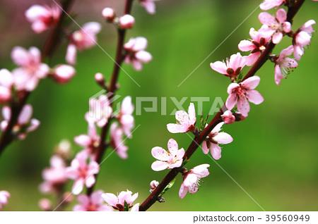 粉紅色桃花綻放於樹枝上 39560949