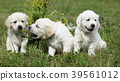 Amazing group of golden retriever puppies 39561012
