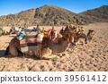 camel, egypt, africa 39561412