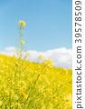 푸른 하늘, 꽃밭, 유채 꽃밭 39578509
