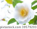 식물, 동백, 꽃 39579203