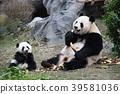 熊猫 父母身份 父母和小孩 39581036
