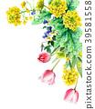 油菜籽花和郁金香装饰框架绘与水彩 39581558