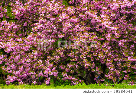 branches of blossoming cherry tree over the grass 39584041