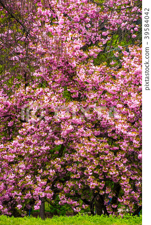 branches of blossoming cherry tree over the grass 39584042