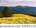 beech tree on grassy hillside in evening 39584119