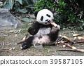 熊貓 嬰兒 寶寶 39587105