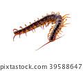 centipede on white background 39588647