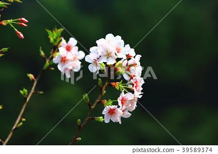 櫻花綻放於樹枝上 39589374