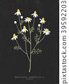 chamomile, daisy, illustration 39592203