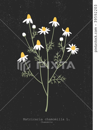 Vector illustration of a chamomile plant 39592203