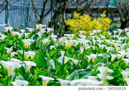 陽明山竹子湖海芋季 Calla lily season in Yangmingshan Taiwan 39593019