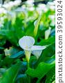 陽明山 花 花卉 39593024
