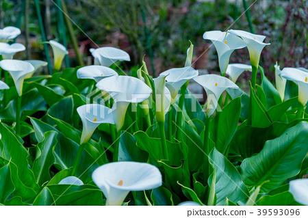 陽明山竹子湖海芋季 Calla lily season in Yangmingshan Taiwan 39593096