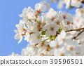 樱花 樱桃树 樱花盛开 39596501